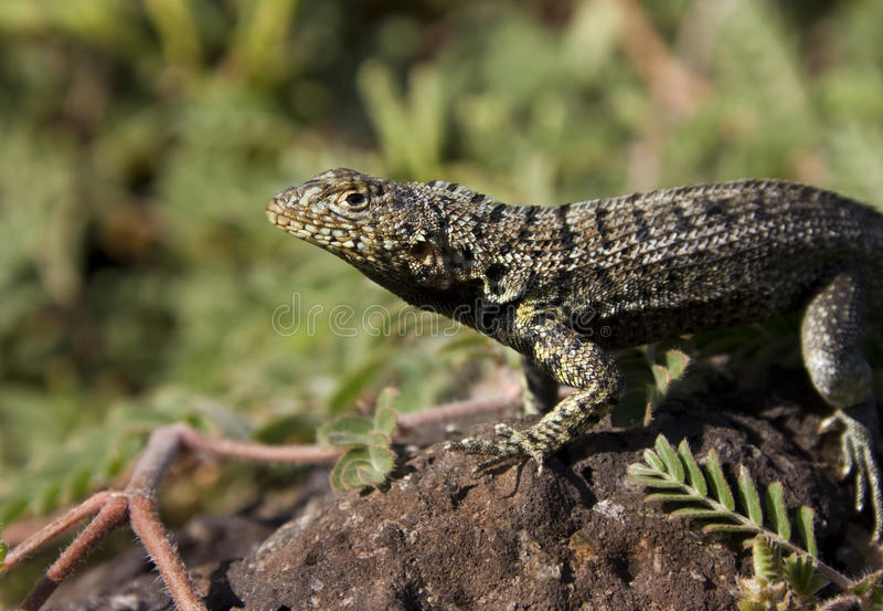 Download Lava Lizard - Galapagos Islands Stock Photo - Image: 21128992