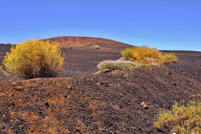 Lava y ceniza-campo azul oscuros grandes con las plantas amarillas florecientes de Teide foto de archivo