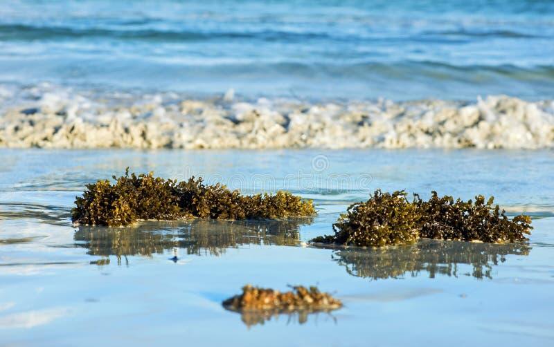 Lavado acima do vesiculosus do fuco da alga da alga vesicular negra, imagem de stock