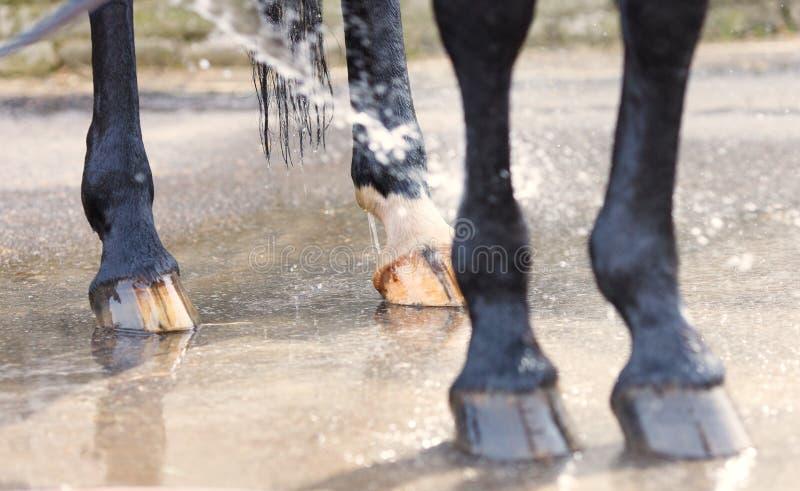Lavage de plan rapproché de cheval de pieds et de sabots images libres de droits