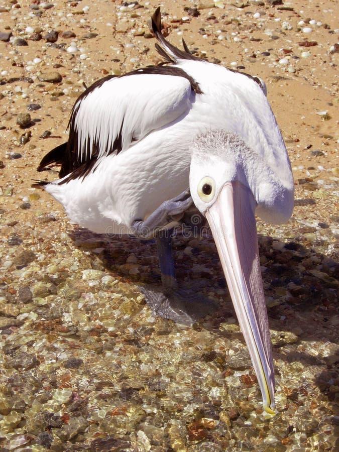 Lavagem e risco do pelicano fotografia de stock royalty free