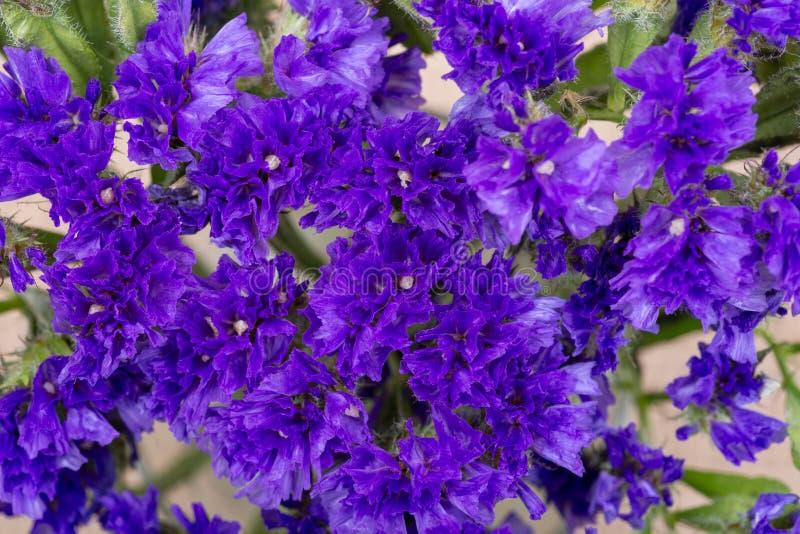 Lavanda de mar púrpura oscura de Wavyleaf del sinuatum del Limonium, Statice, lavanda de mar, hoja Marsh Rosemary, flores de la m fotografía de archivo
