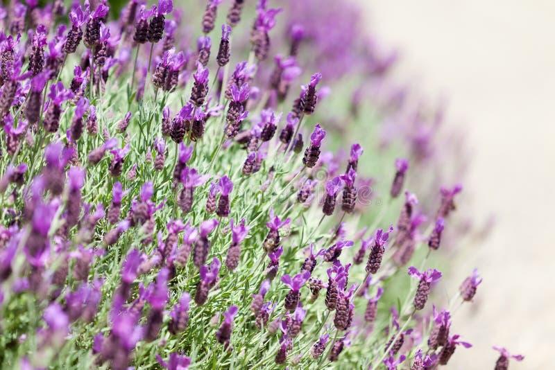 Lavanda di fioritura fotografia stock libera da diritti