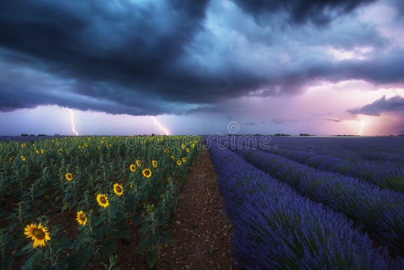 Lavanda e giacimento dei girasoli sotto una tempesta Fotografato in Provenza, la Francia fotografia stock libera da diritti