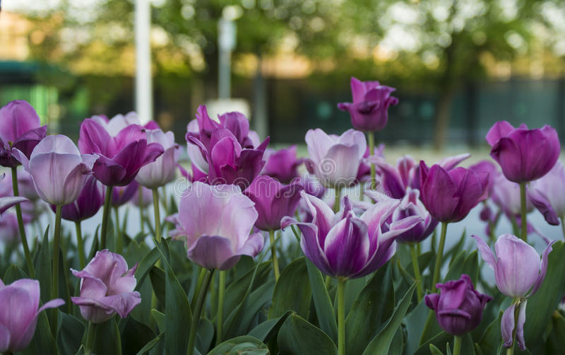 Lavanda e tulipani porpora immagini stock