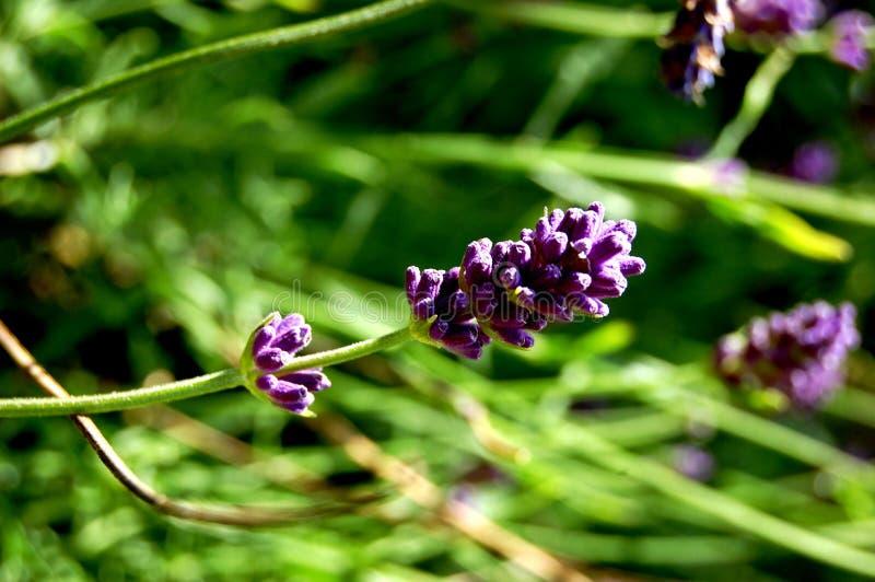 Lavanda en aturdir la situación púrpura hacia fuera de la hierba imagen de archivo