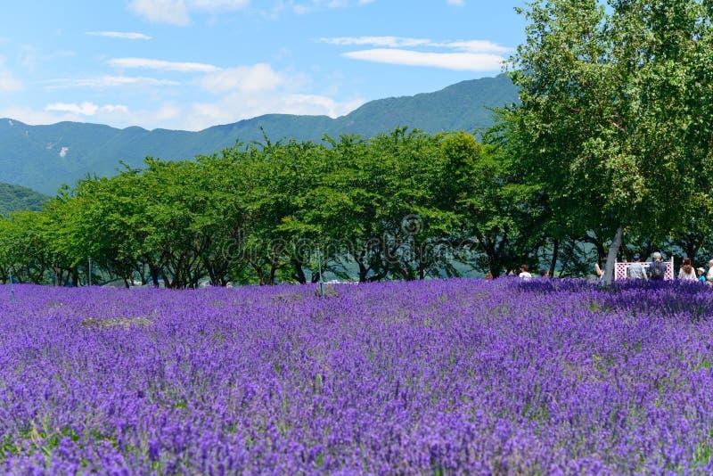 Download Lavanda En El Parque De Yagisaki En La Orilla Del Lago De Kawaguchi Foto de archivo - Imagen de hermoso, colorido: 42443670