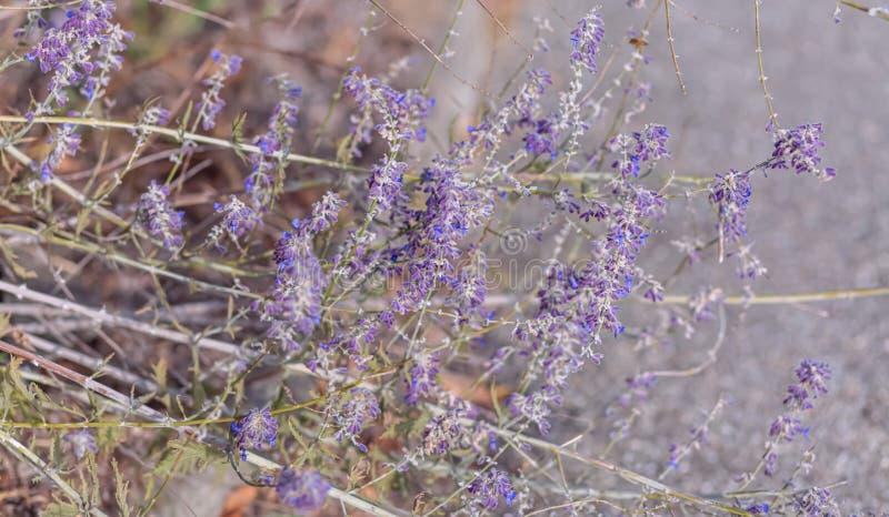 Lavanda Fiori porpora di fioritura della lavanda ed erba asciutta nei prati o nei campi Fotografia di arte fotografia stock libera da diritti