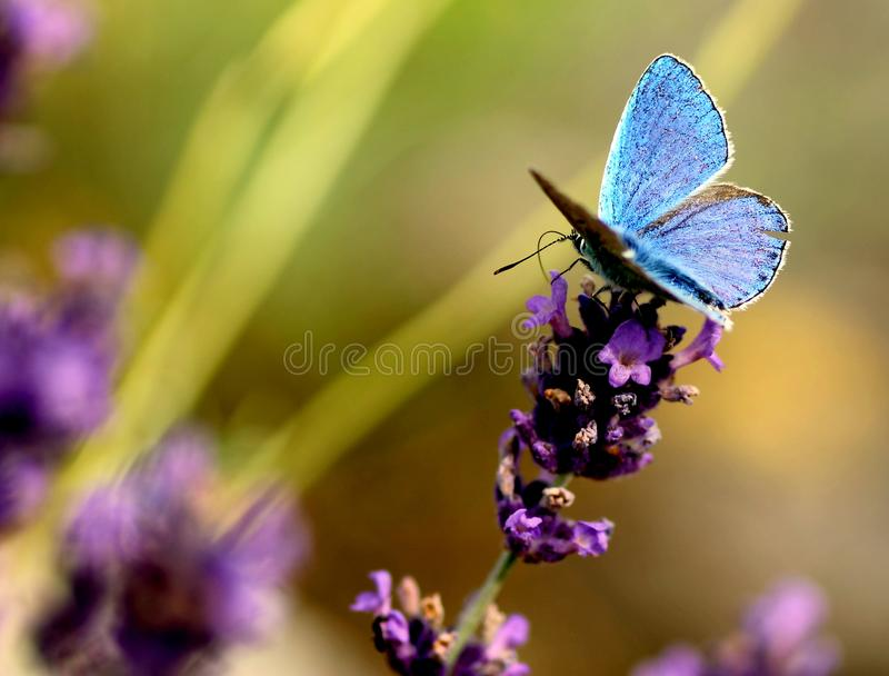 Lavanda floreciente con una mariposa azul hermosa fotos de archivo