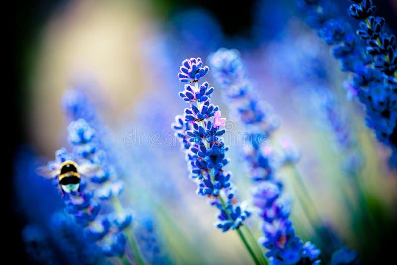 Lavanda flowers blossom macro with bee. Summer time lavander fields royalty free stock image