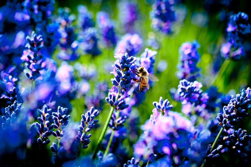 Lavanda flowers blossom macro with bee. Summer time lavander fields royalty free stock photos