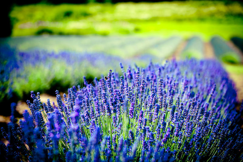 Lavanda flowers blossom. Summer time lavander fields stock photo