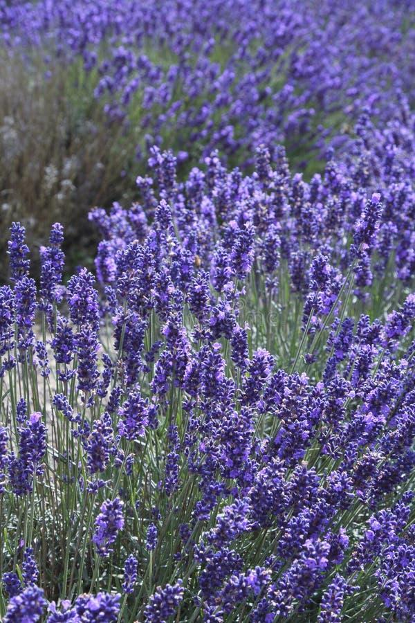 Lavanda inglese nel giacimento della natura del fiore fotografie stock libere da diritti