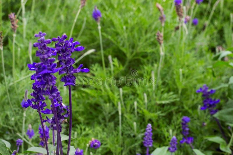 Lavanda púrpura ideal fotografía de archivo libre de regalías