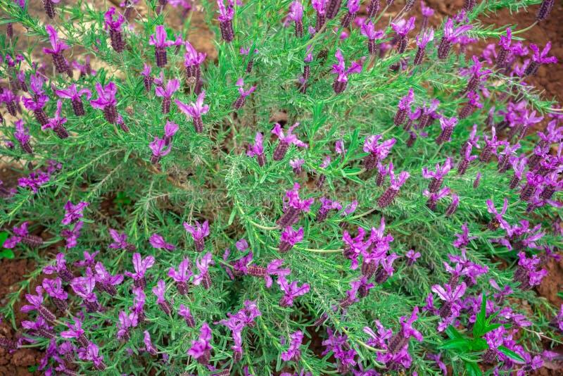 Lavanda p?rpura, floraci?n de la flor de la lavanda del Lavandula Angustifolia, aka com?n, verdadero imagen de archivo
