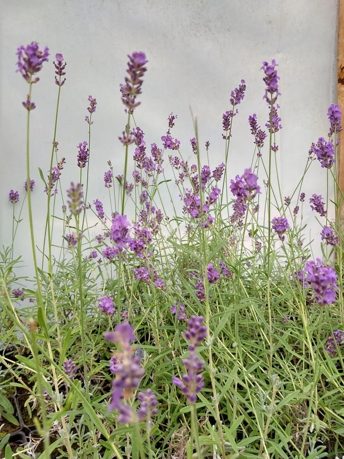 Lavanda serre greenhouse outside the city stock photos