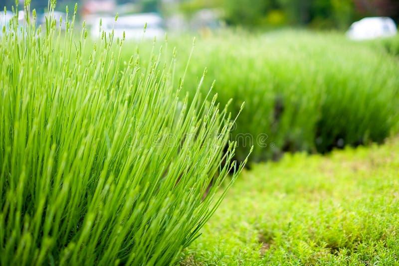 Lavanda verde con el fondo de la hierba verde imagen de archivo libre de regalías