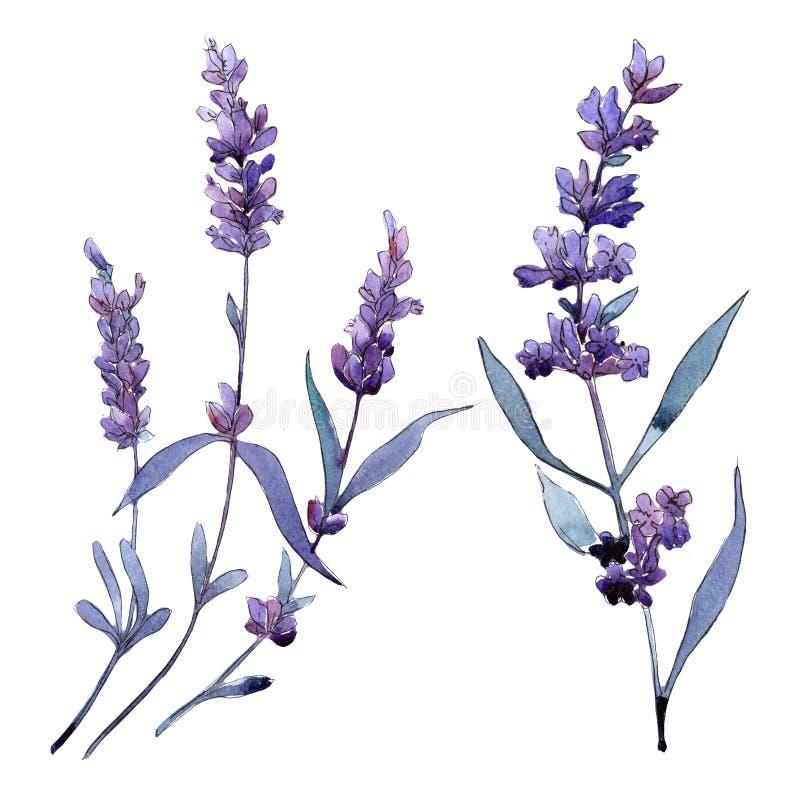 Lavanda viola Fiore botanico floreale Wildflower selvatico della foglia della molla isolato illustrazione di stock