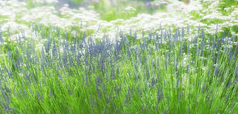 Download Lavanda y flores blancas foto de archivo. Imagen de jardín - 100534424