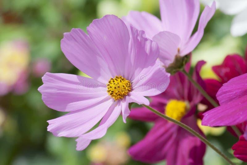 Lavanda y Violet Daisies Basking en el Sun fotos de archivo libres de regalías