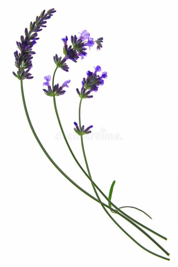 Lavande (angustifolia de Lavandula) images libres de droits