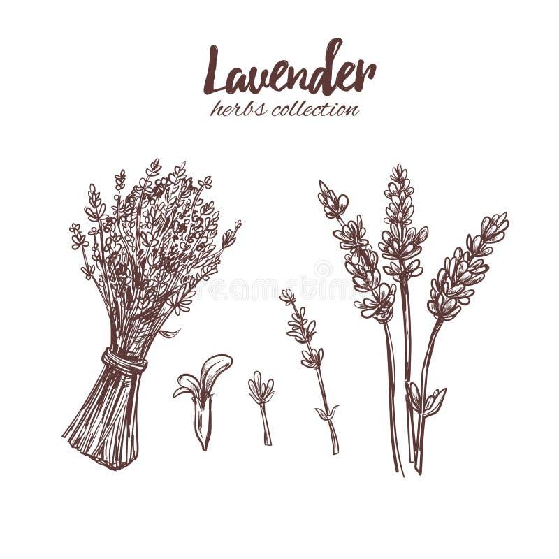 Lavande Beauté organique Illustration tirée par la main de vecteur illustration libre de droits