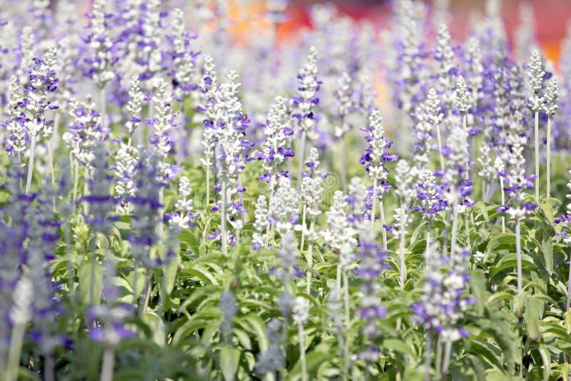 Download Lavande Blanche De L\u0027hiver. Photo stock , Image du mauve, fleurs