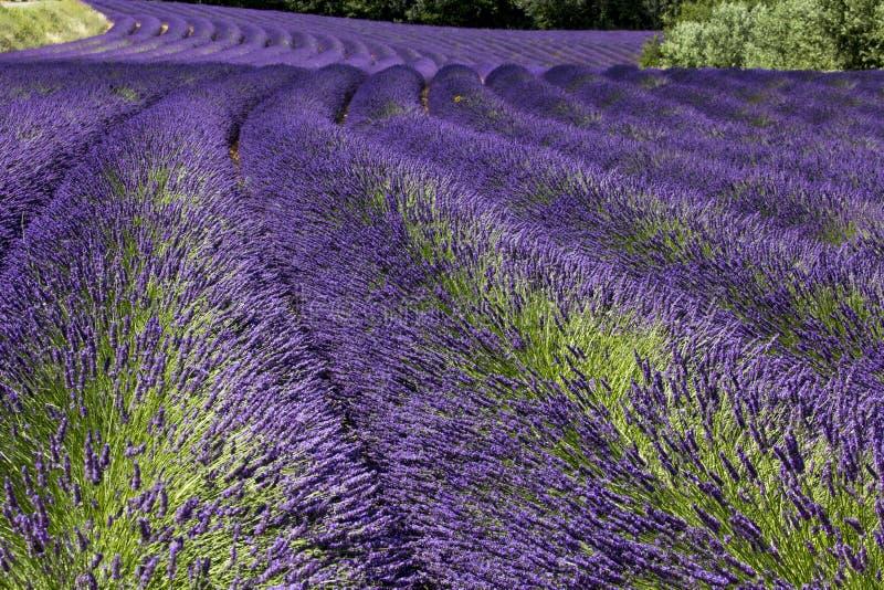 Lavande dans des Frances de la Provence images libres de droits