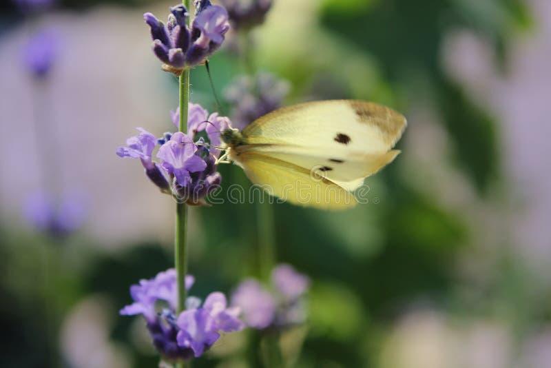 Lavande de floraison avec le papillon photographie stock