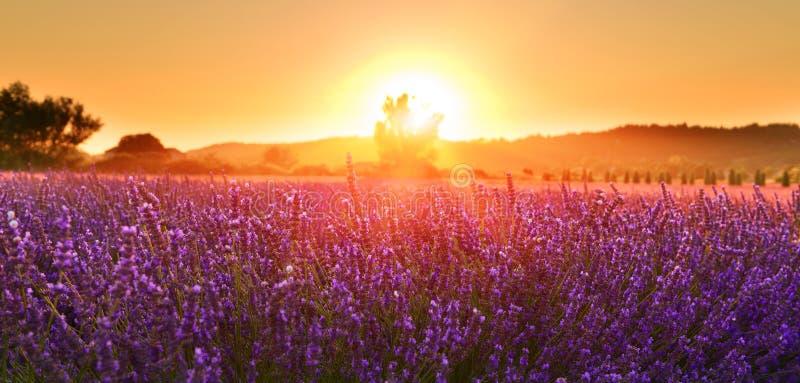 Lavande de floraison en été au coucher du soleil, Provence, France photos stock