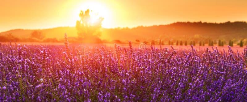 Lavande de floraison en été au coucher du soleil, Provence, France photo libre de droits