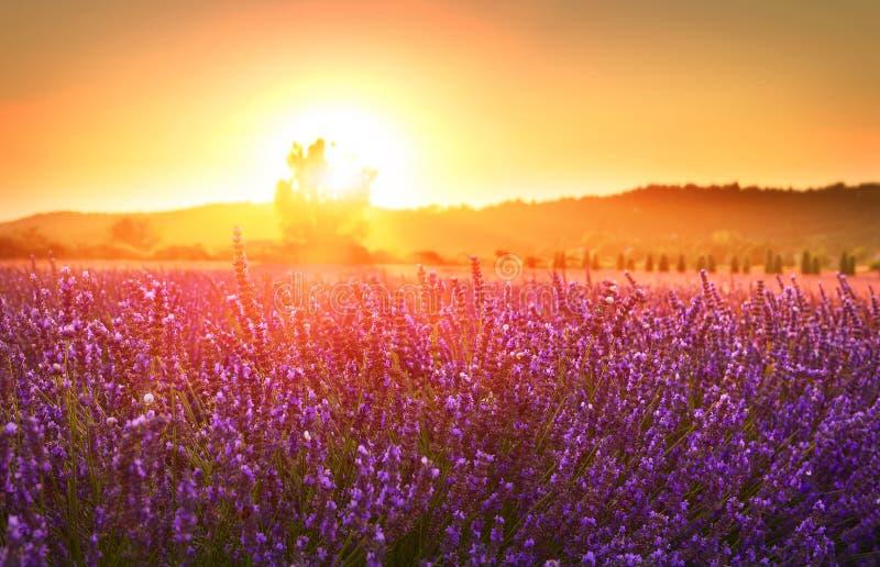Lavande de floraison en été au coucher du soleil, Provence, France photographie stock