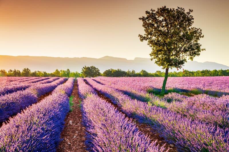 Lavande de Valensole en Provence, France photographie stock