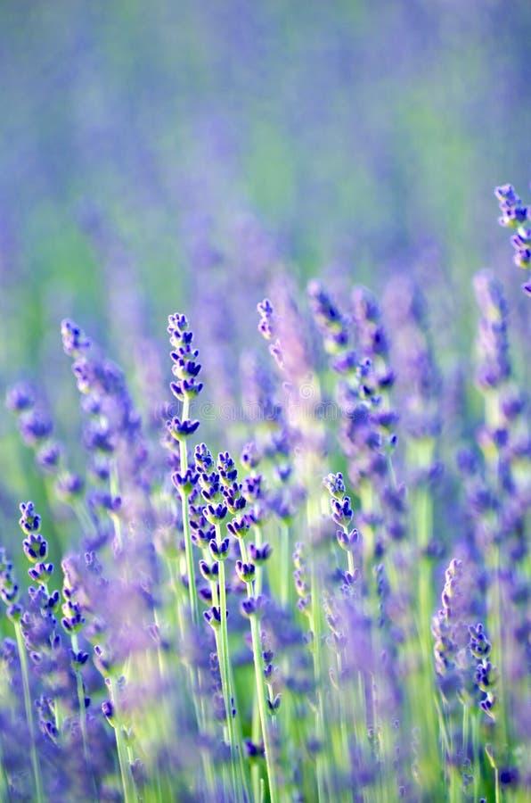 Lavande en fleur images stock