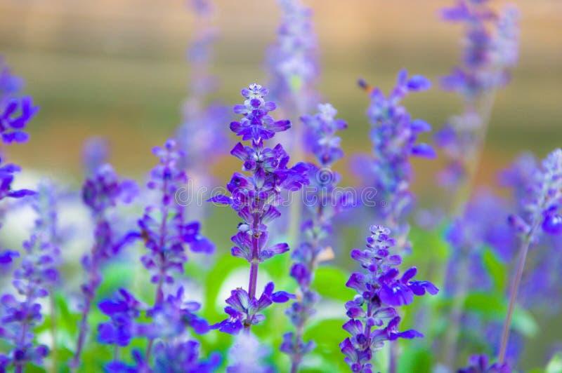 Lavande fraîche botanique photographie stock libre de droits