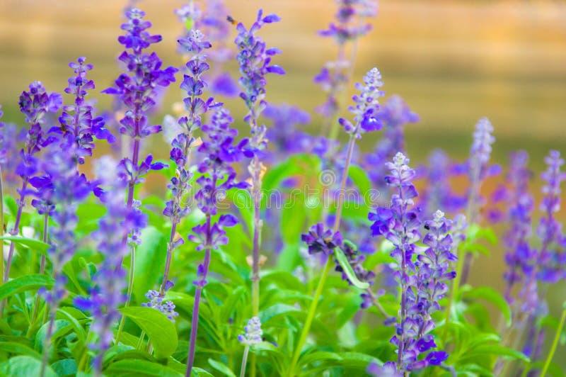Lavande fraîche botanique image stock