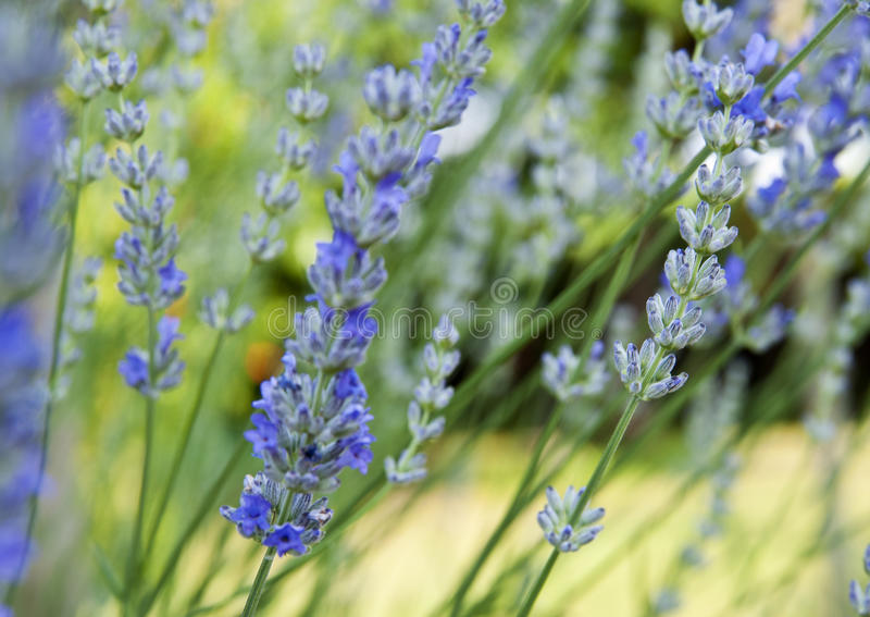 Download Lavander stock photo. Image of flowers, background, nature - 25531444