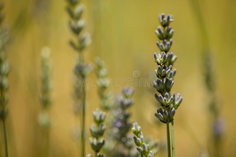Lavander błękitnych kwiatów zamknięty up zdjęcie stock