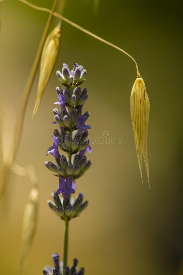 Lavander błękitnych kwiatów zamknięty up obraz stock