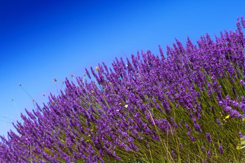 Lavander-Feld mit blauem Himmel stockfotografie