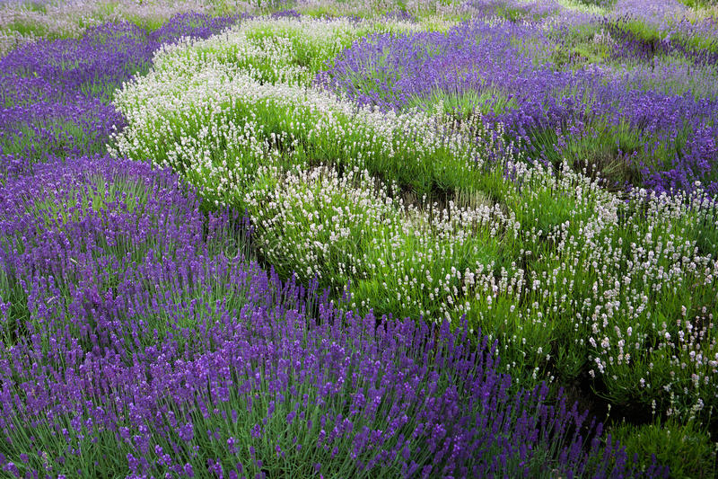 Download Lavander field stock image. Image of field, purple, focus - 26181793