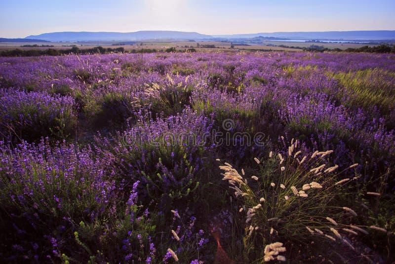 Lavander field of Crimea. Flower field. stock photography