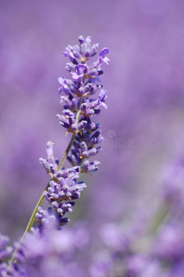 Download Lavander Fields stock image. Image of lavander, meditation - 17051443