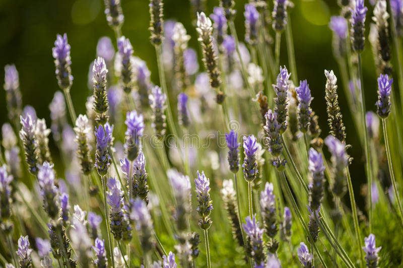 Lavander kwiaty obraz stock