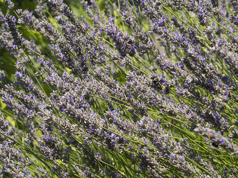 Lavander stock photography
