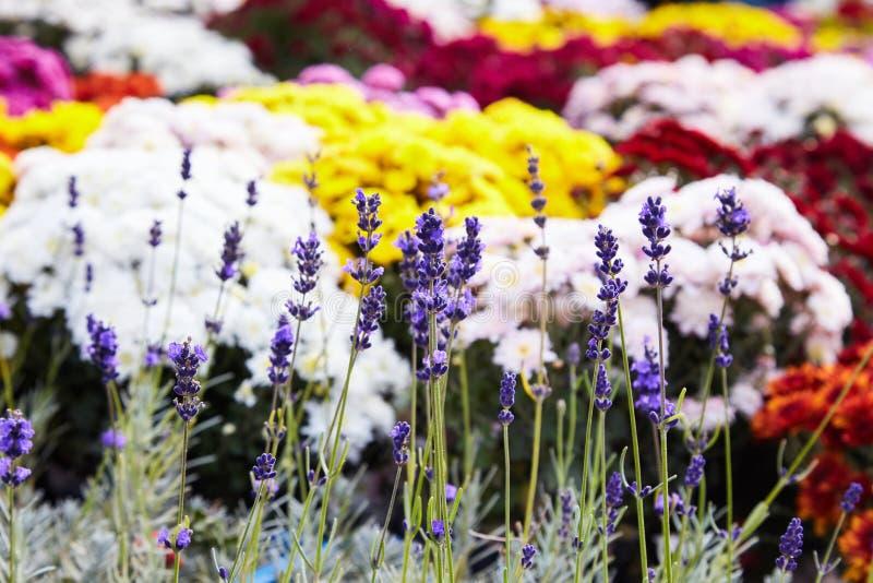 Lavander plant in open market garden. Lavander in flower pots. On a colorful background stock photos