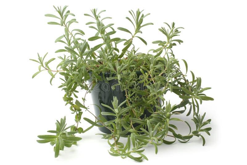 Lavander w flowerpot zdjęcie royalty free