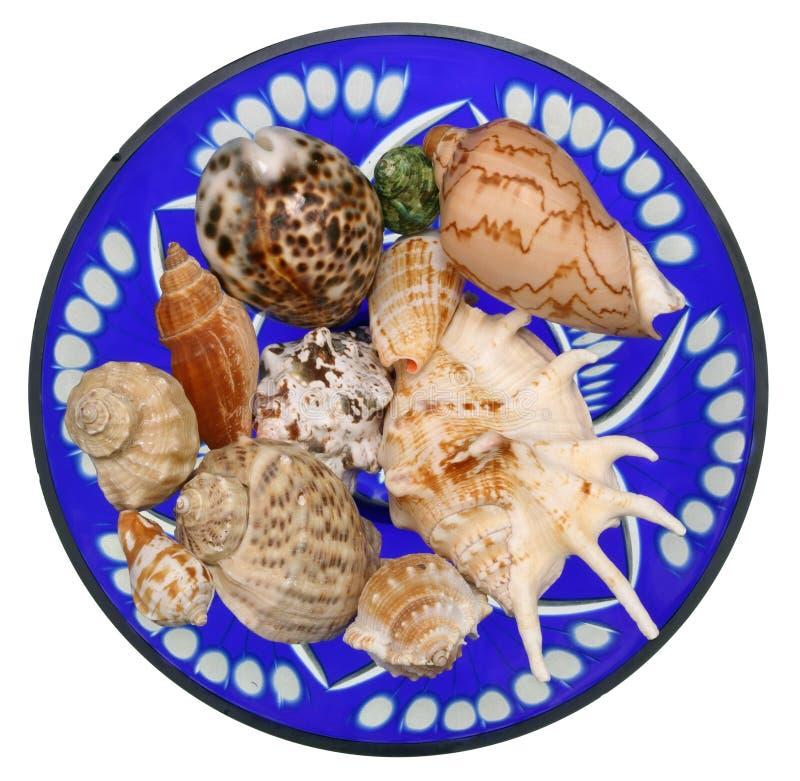 Lavandini dei molluschi tropicali del mare immagini stock libere da diritti