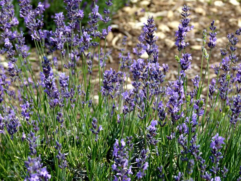 Closeup of the blooming genuine lavender royalty free stock image