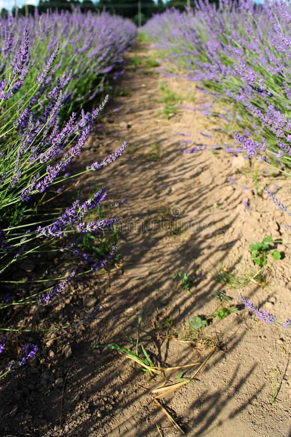 Lavandula Field In Sunlight Royalty Free Stock Image